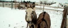 featured_donkeys_snow