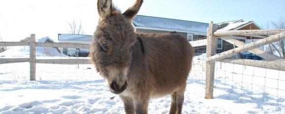 featured_fuzzy_donkey