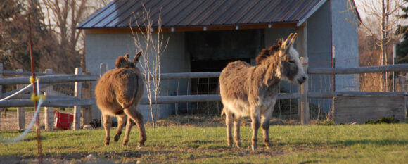 featured_spring_donkeys