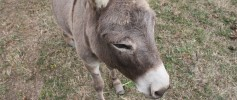 featured_mini_donkey_liberty