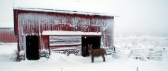 featured_donkeys_snow2