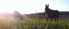featured_donkeys_spring