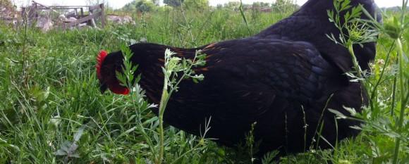 featured_chicken