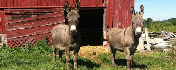 featured_summer_donkeysi