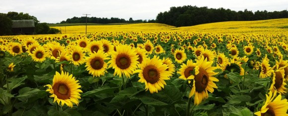 featured_sunflower_field