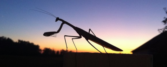 featured_mantis