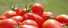 feature_tomato