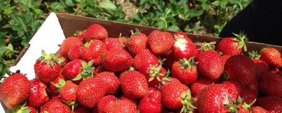 featured_strawberries2