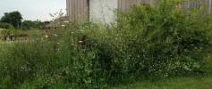 featured_weeds_4