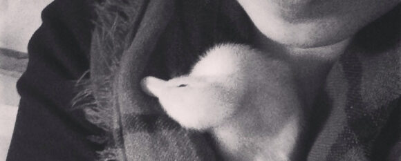 featured_baby_duck