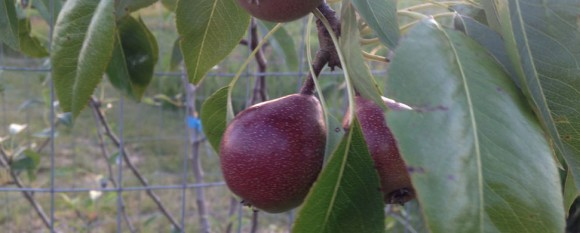 featured_pear