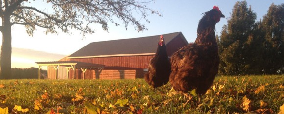 featured_fall_chickens