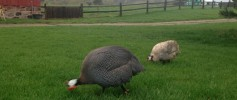 featured_guineas_in_yard