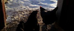 featured_chickens_snow